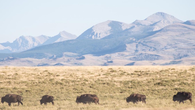 Blackfeet Nation Bison Herd – Sheena Pate