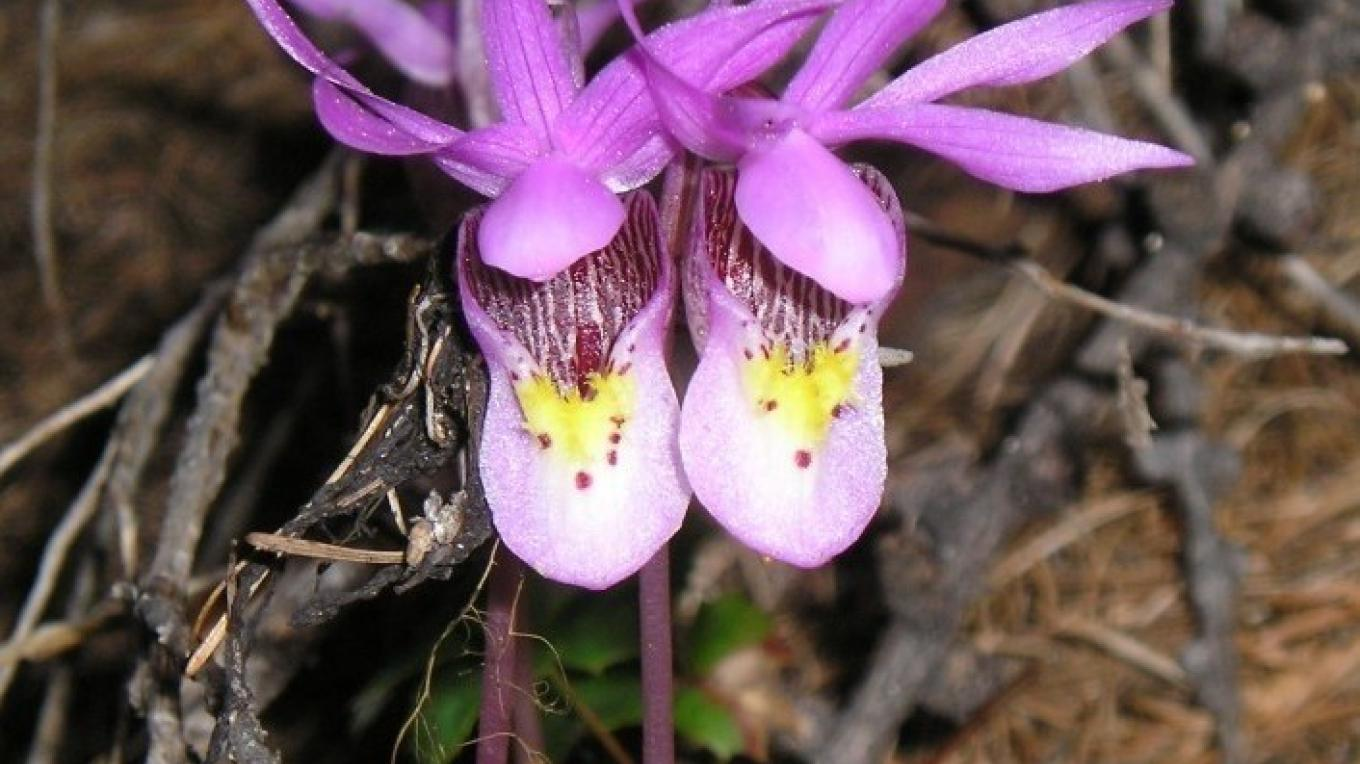 A pair of fairy slippers - Calypso bulbosa – Cate Turner-Jamison