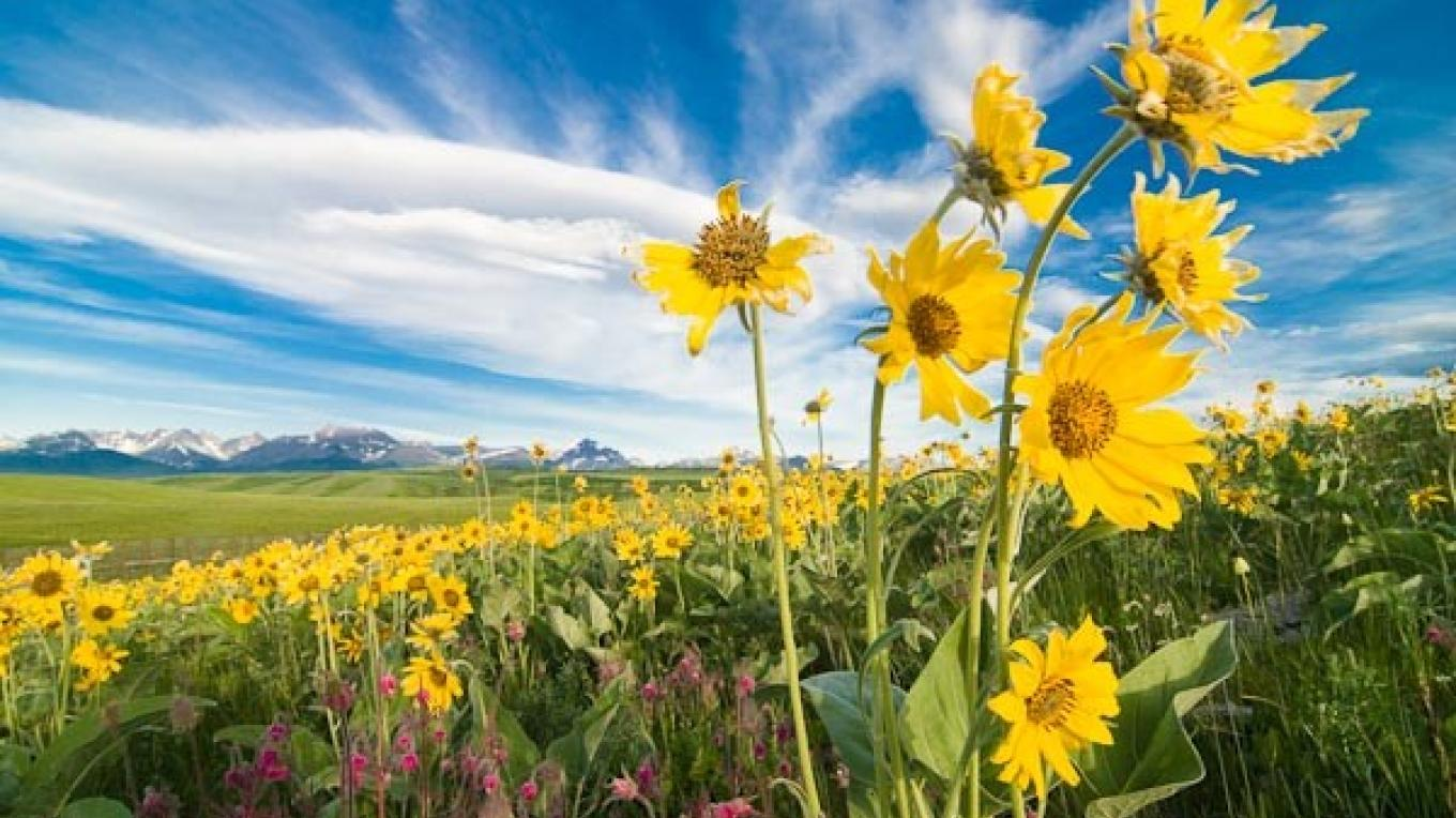 Arrowleaf Basalmroot flowers against the backdrop of the Rocky Mountains west of Browning, MT – tonybynum.com