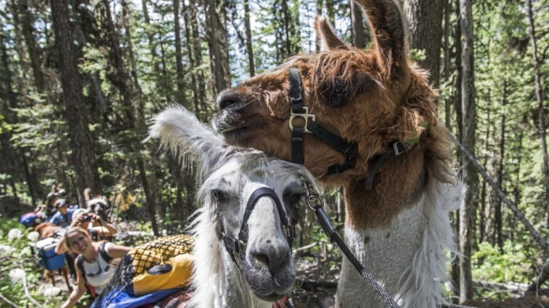Llama love! – Ami Vitale
