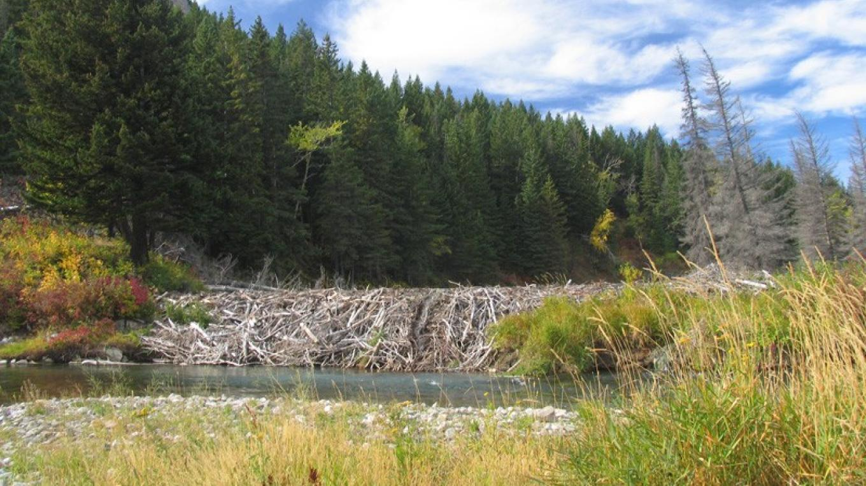 Beaver Dam at Frank, AB – David Thomas