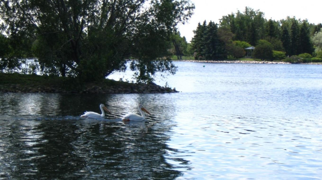 Pelicans also  fequent the pond at the centre. – gwd   G. Wayne Dwornik