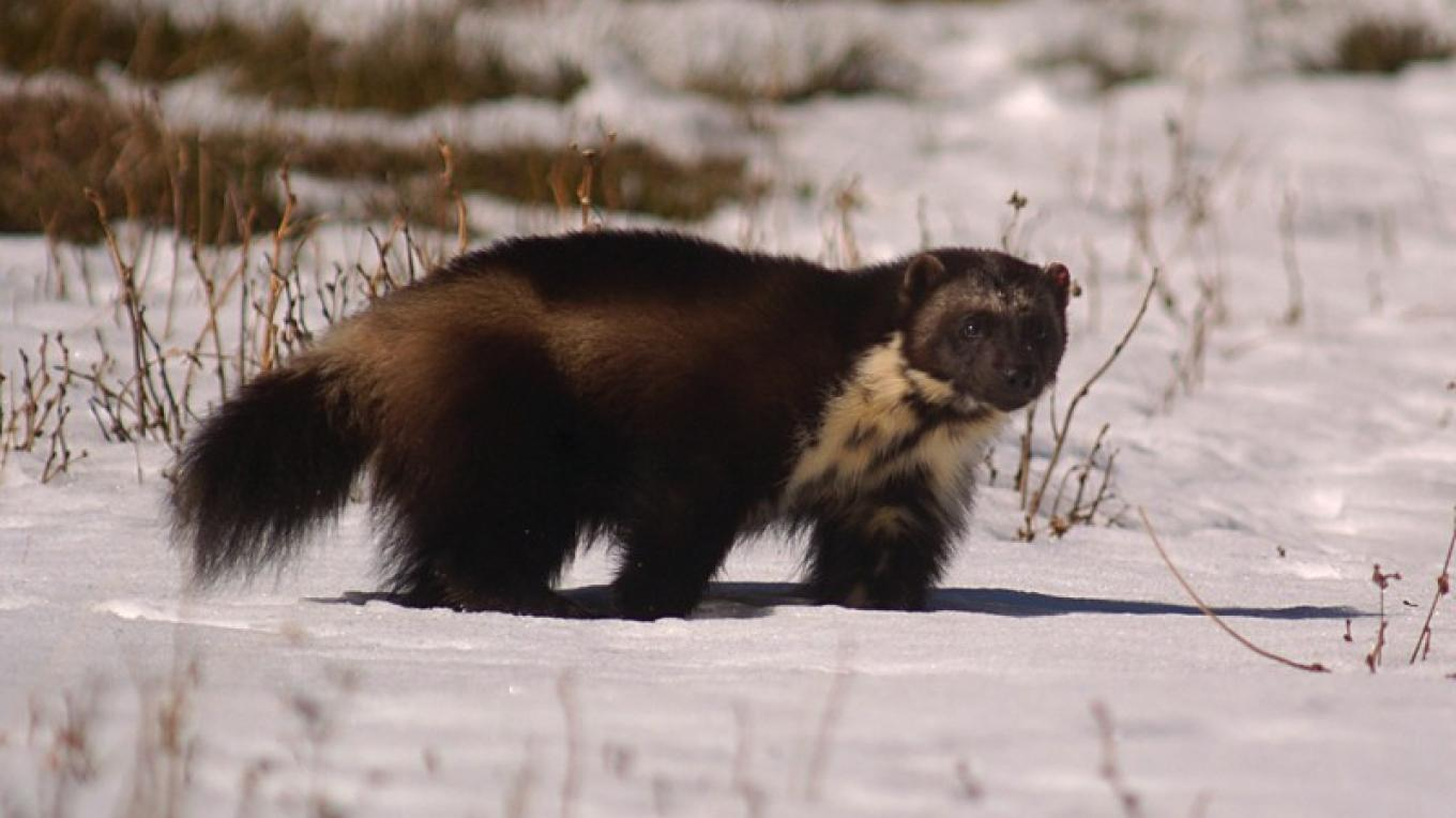 Wolverine in Glacier National Park – Chris Peterson