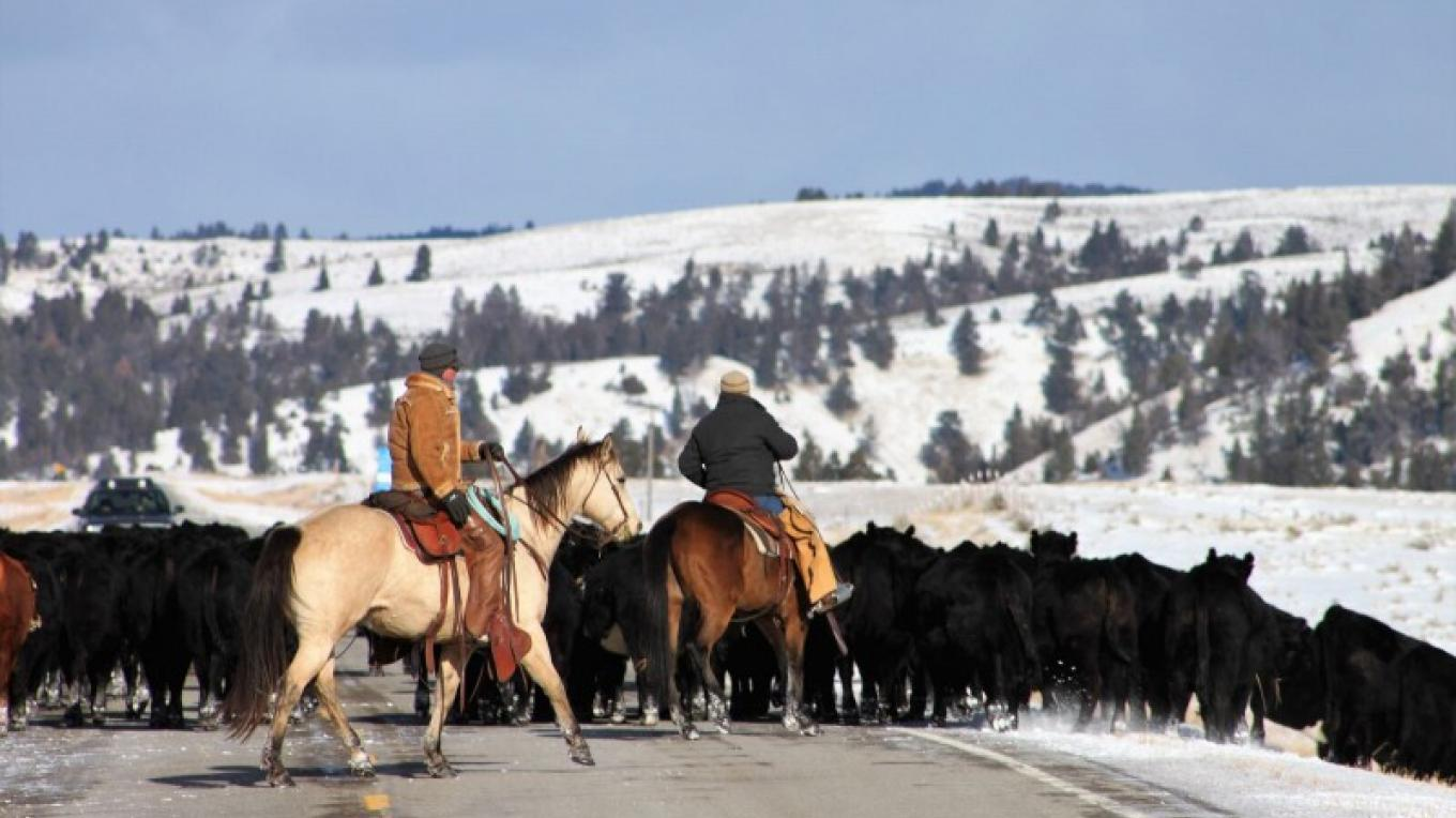 Cattle drive a couple miles north of the US Hwy 89. – Central Montana