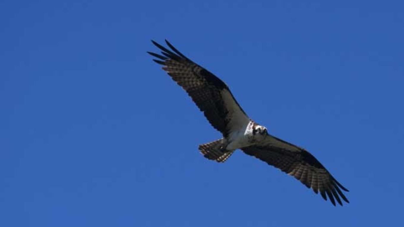 The Osprey's diet consists almost exclusively of fish. – Don Weixl