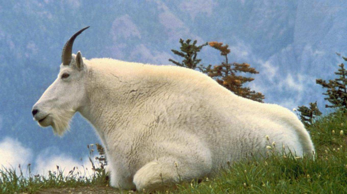 Mountain Goat (Oreamnos americanus) is the official symbol of the park – Dave Grickson / USFWS
