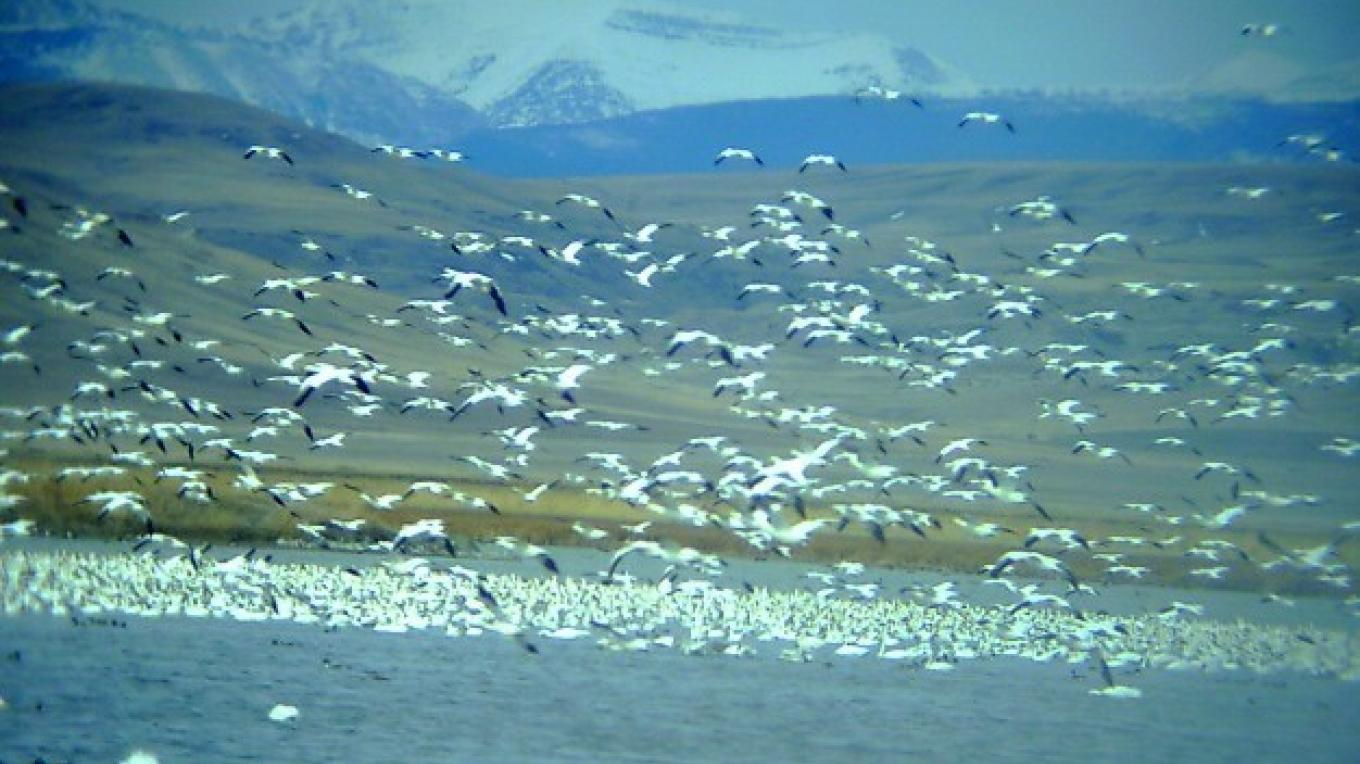 Snow geese on Freezeout Lake – Mike Schwitters