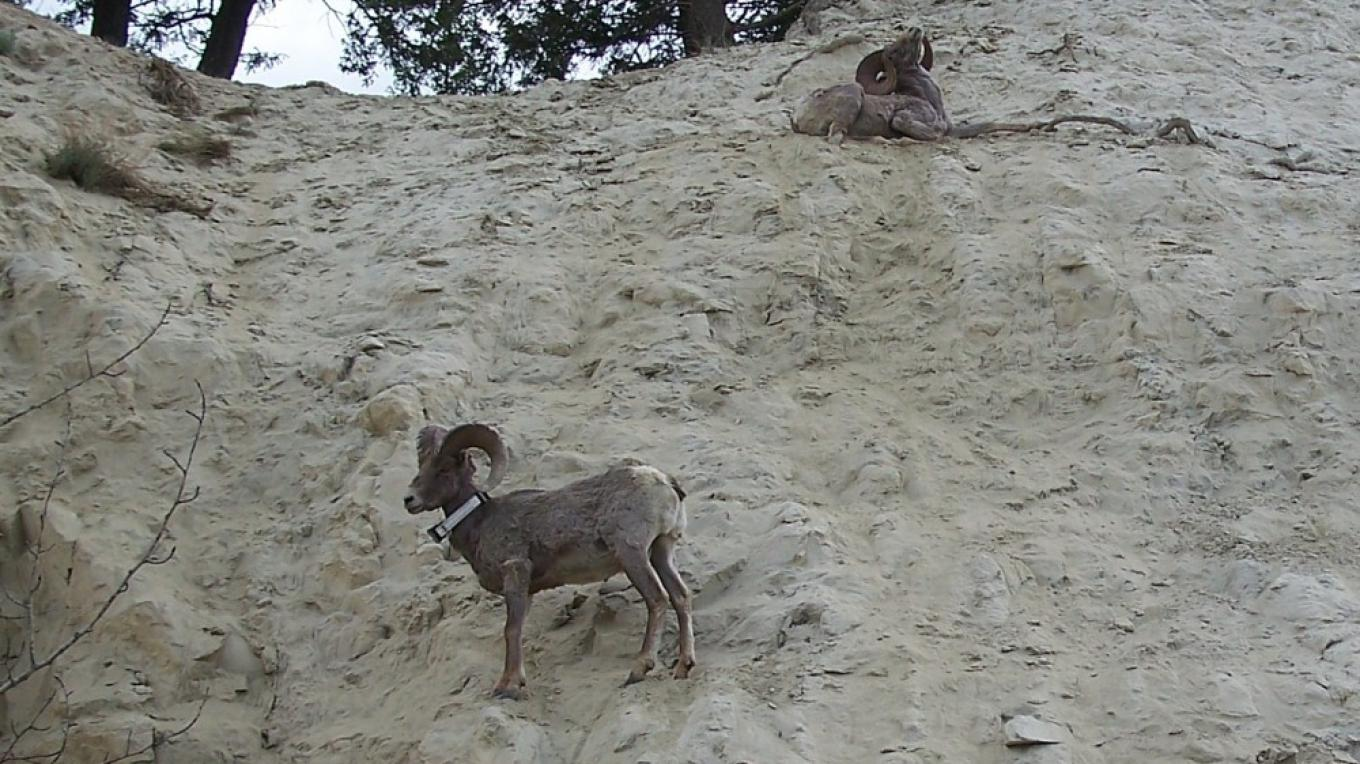 Bighorn Sheep are at home on the steep slopes – Nick Berzins
