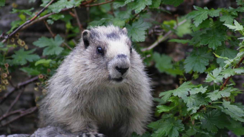 marmot? – Bob Dyrda