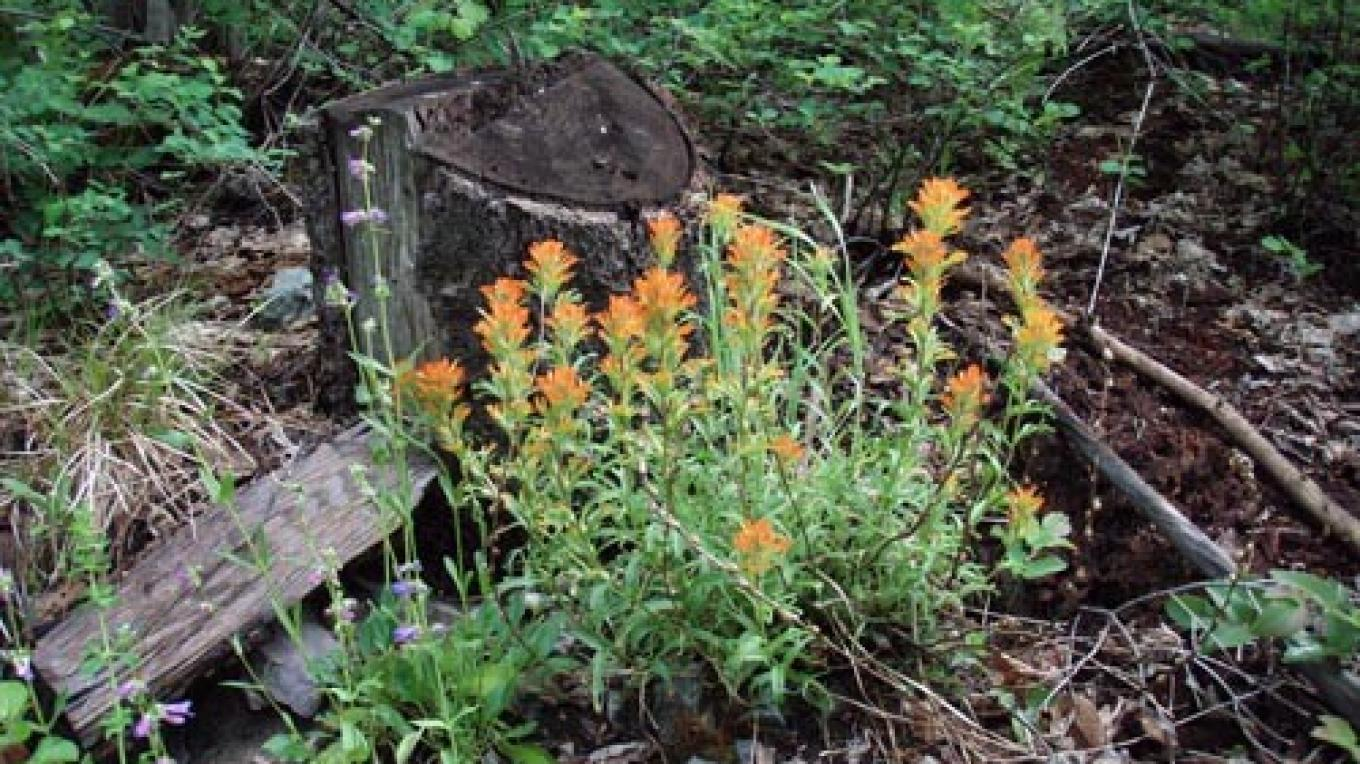Indian paintbrush and penstemon add beauty to an old stump along the way. – Keith Hammer