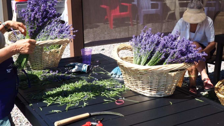 Volunteer day during July harvest at Purple Mountain Lavender – Lisa Stadler