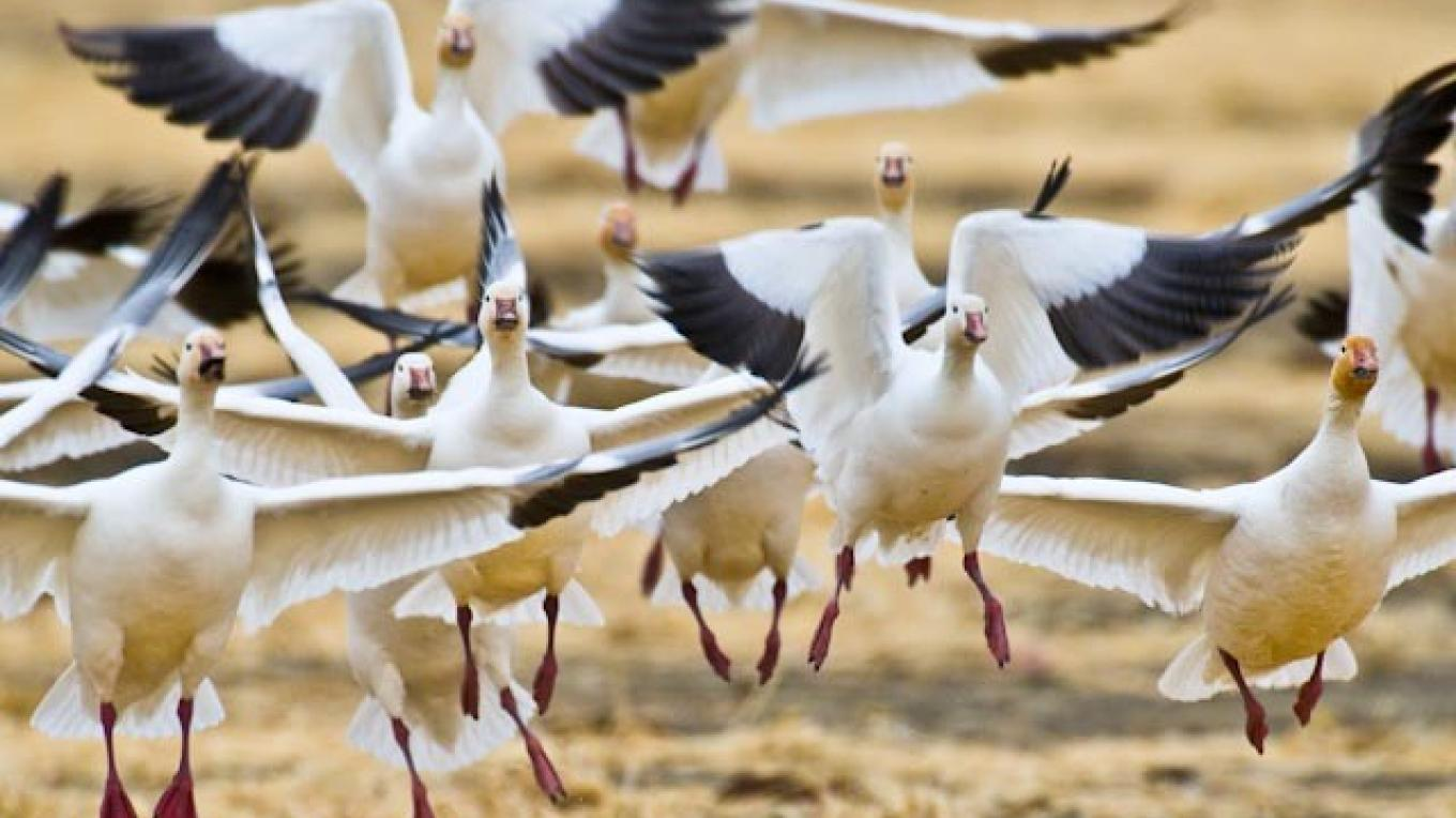 Snow geese lift-off, farm field, north of Choteau, MT – tonybynum.com