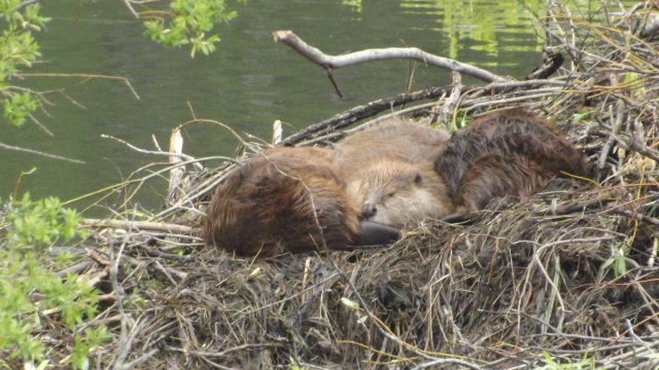 Flood 2013 - even the beavers were looking for a place to sun themselves! – Deb Webster