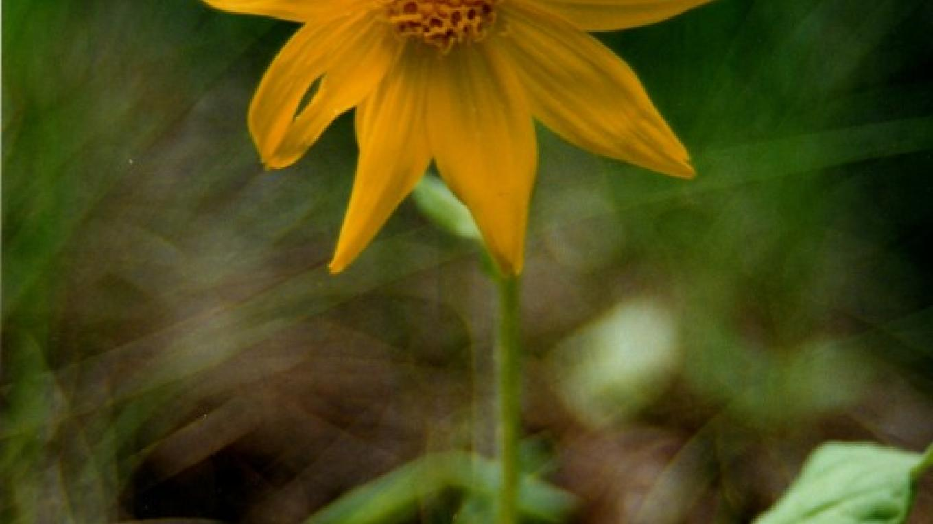 Heart leafed Arnica a healing plant found in the forests of the foothills and mountains. – Julie Walker