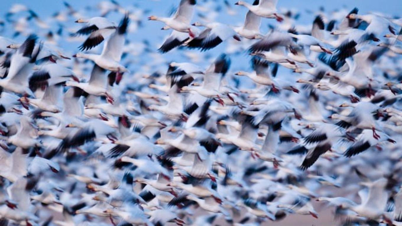 Snow geese, morning lift-off, Freezeout Lake Wildlife Management Area. – tonybynum.com