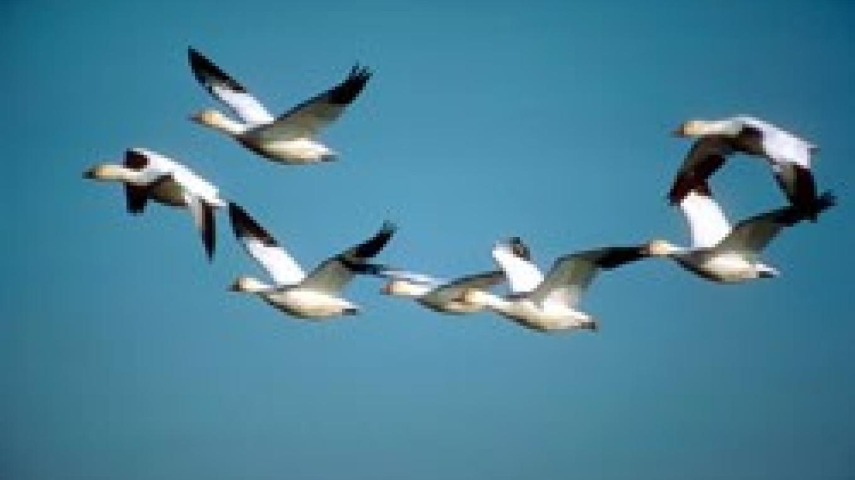 Snow Geese – Central Montana