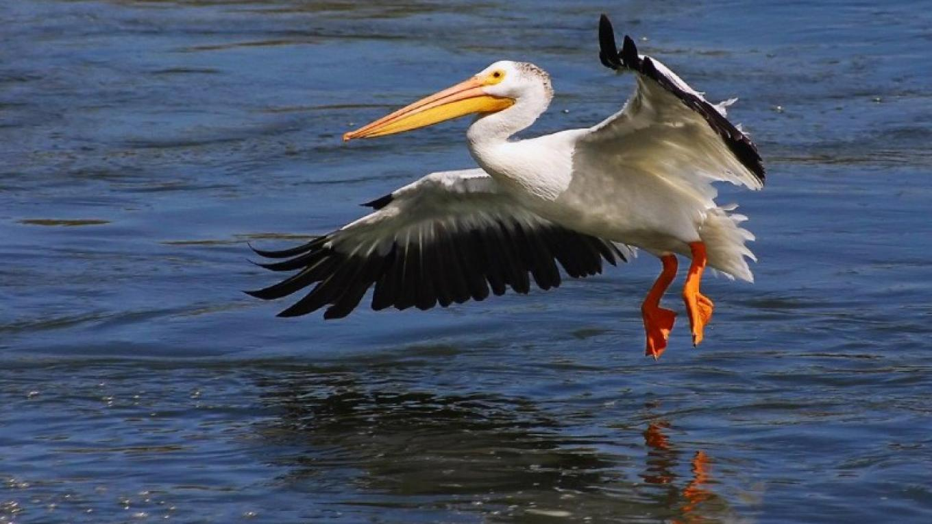 In the summer, a small flock of Pelicans can be seen spending time on Chain Lake. – Alberta Parks