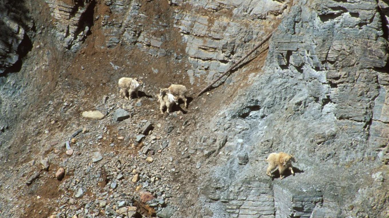 Goat Lick near Essex, Montana – Glacier National Park