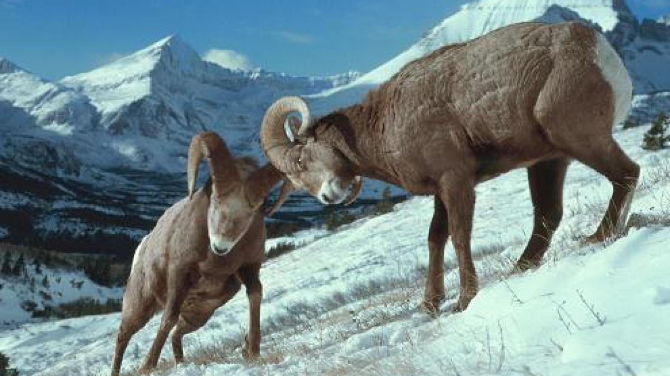 Bighorn sheep in Waterton-Glacier International Peace Park. – Kim Keating USFWS