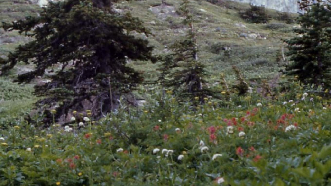 From the Lee Ridge trail in Glacier National Park, wildflower meadows adorn the base of Chief Mountain. – Doug Cook