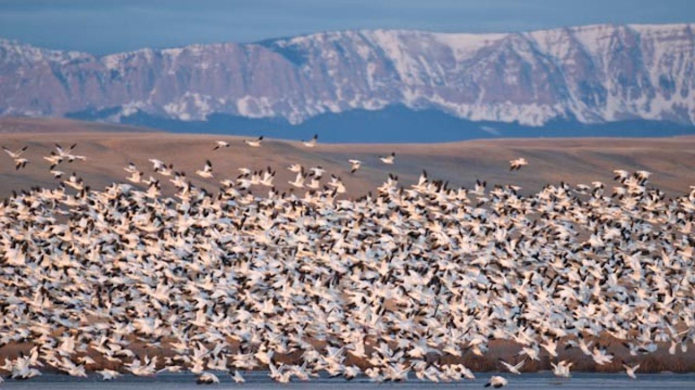 Snow geese, Freezeout Lake Wildlife Management Area, Rocky Mountain Front, south east of Choteau, MT. – tonybynum.com
