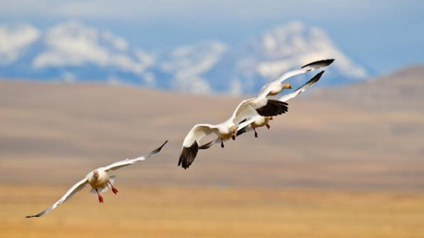 Snow geese Landing, farm field north of Choteau, MT – tonybynum.com