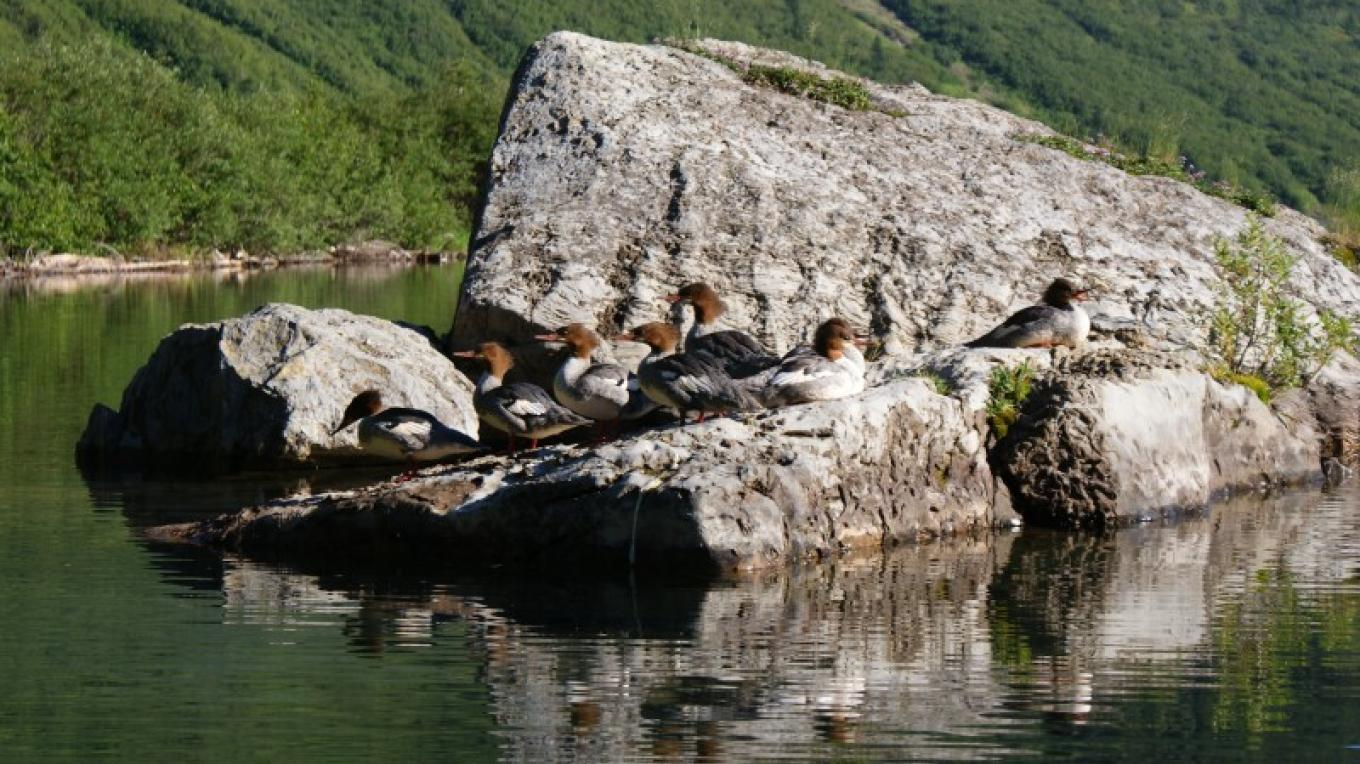 merganser ducks – Bob Dyrda