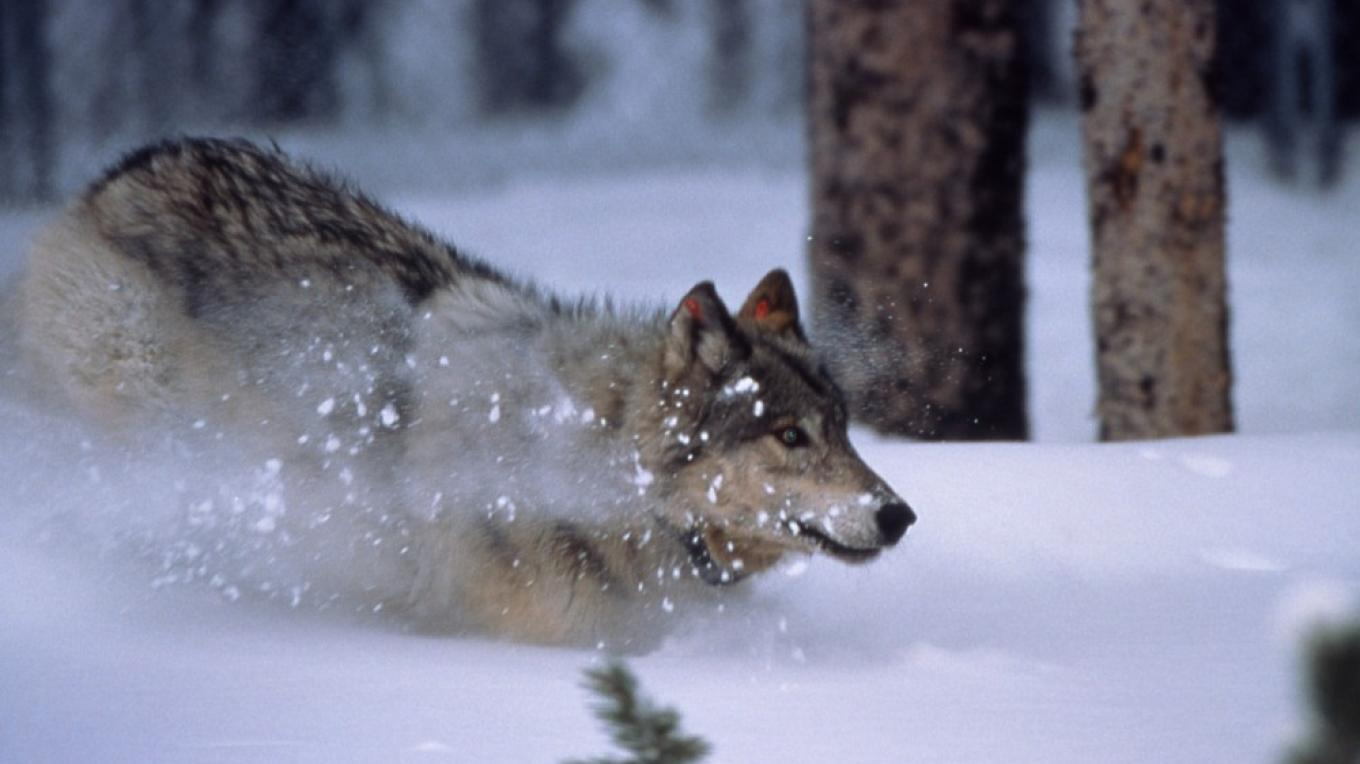 A gray wolf bounds through the snow in the northern Rockies of the United States. – Courtesy National Park Service