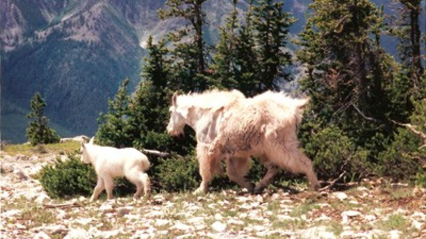 Goats on Haystack Mountain – Mills