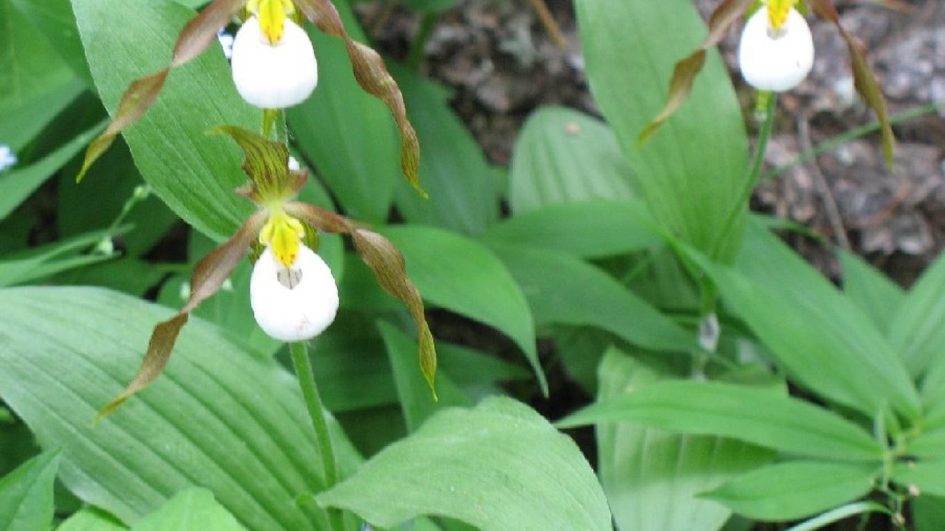 Ladyslippers are among the many wildflowers featured at the Wildflower Herbarium at Whitefish Library – Jan Metzmaker