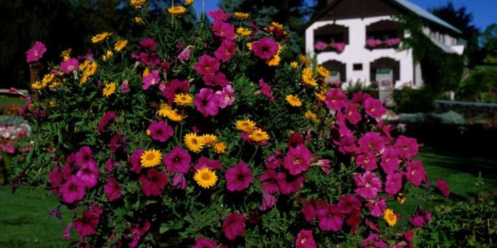 Cominco Gardens boasts over 45,000 blooms each summer. – Don Weixl
