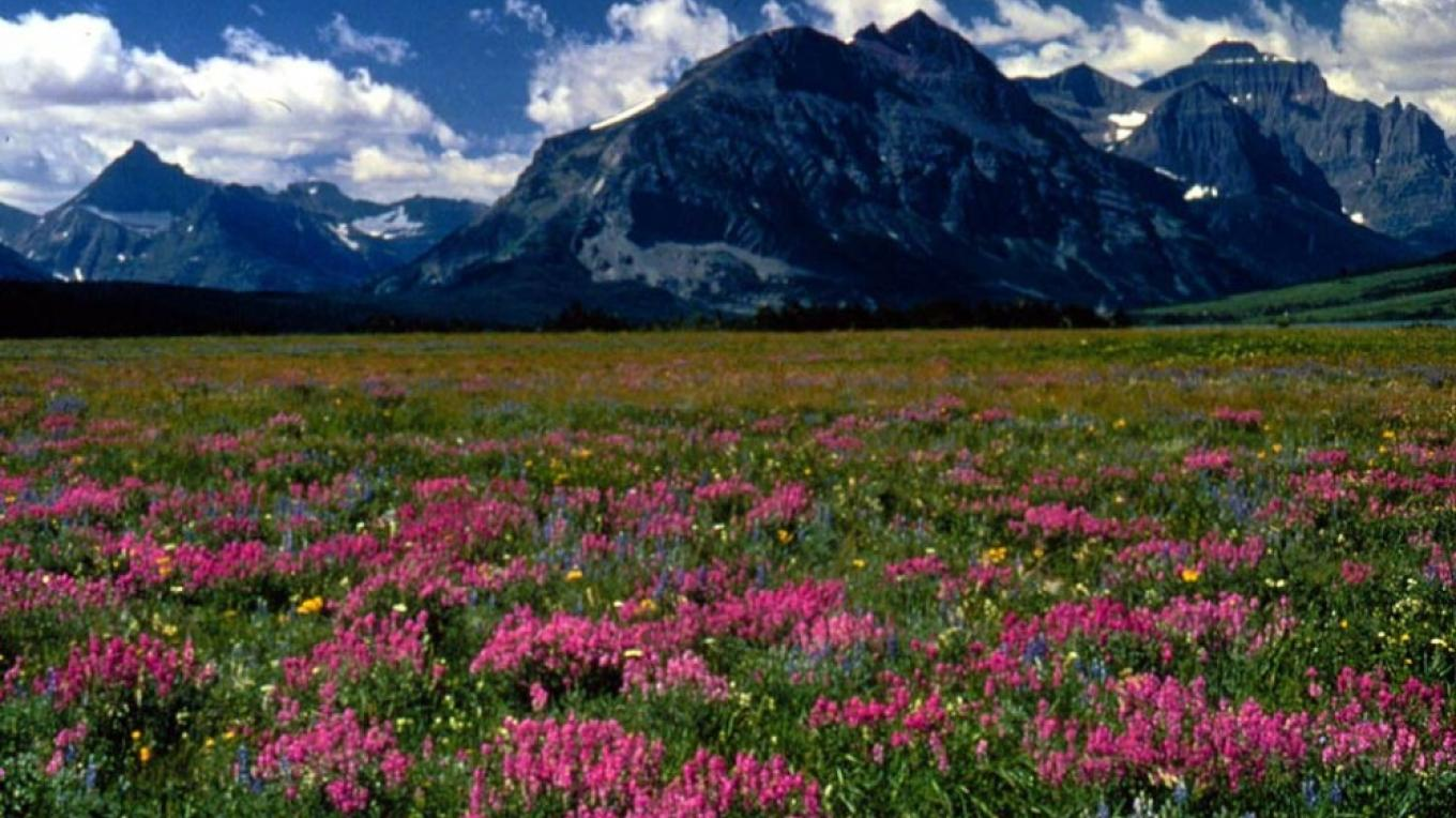 What are those beautiful flowers below Red Eagle Mountain in Glacier? The Wildflower Herbarium in Whitefish will help you figure that out. – Courtesy Glacier National Park