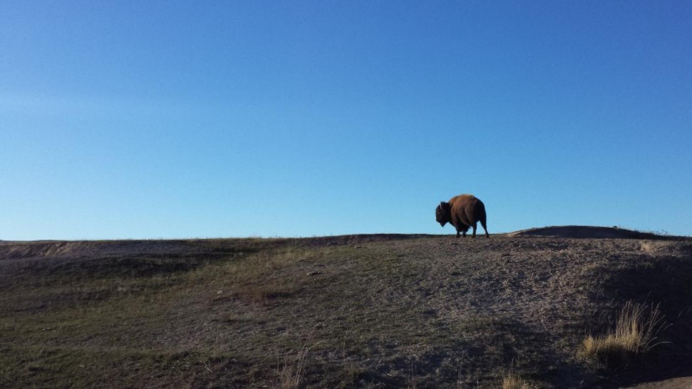 Bison grazing next to the Winter Drive Road. – Sheena Pate