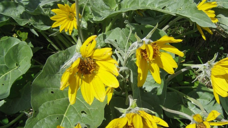 Spring balsam root – H. Eijgel