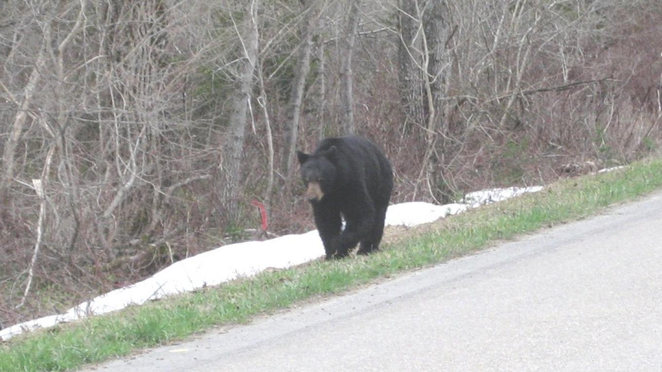 A black bear feasts on tender grasses along the Going-to-the-Sun Road in May 2008.  We moved away to give him room. – Steve Thompson