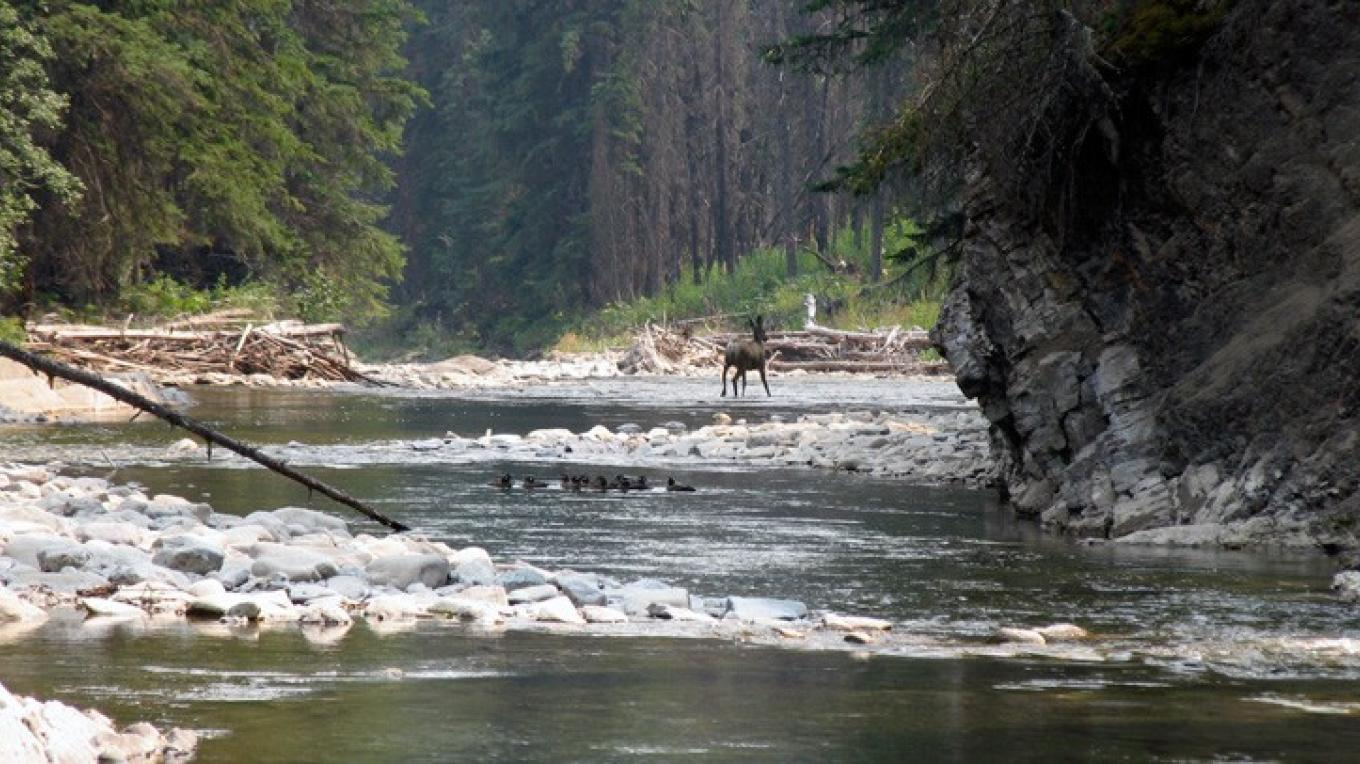 Deer and harlequin ducks enjoy early summer on Lynx Creek – David Thomas