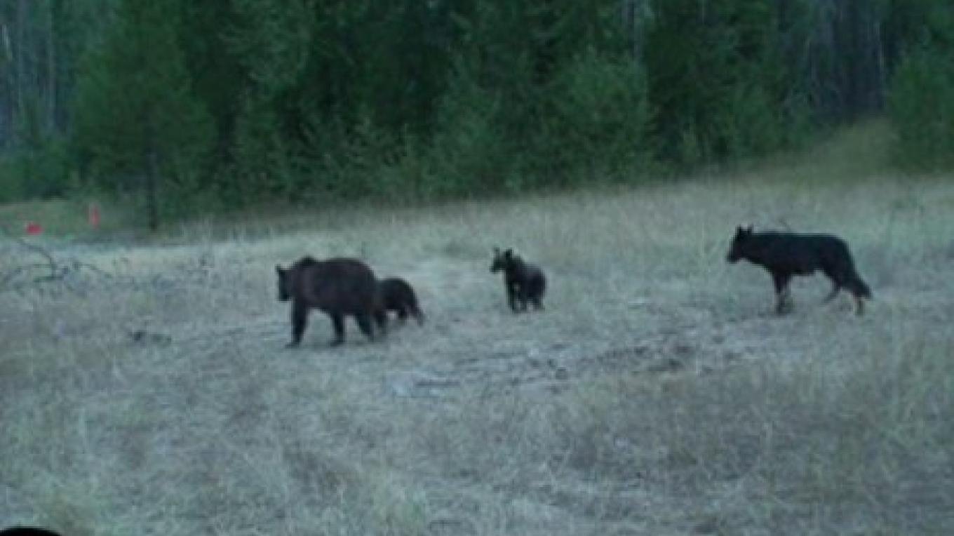 A video still of the video as the wolf sneaks up on the adult grizzly and her two cubs. – Video still from USGS remote camera.