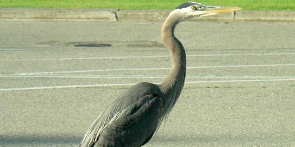 Blue Heron are commonly seen in this area. – Kootenay Trout Hatchery