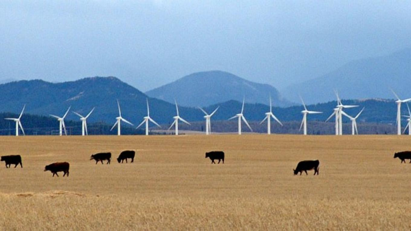 Cattle graze amid wind catchers along eastern front of Rocky Mountains, near Pincher Creek, AB. – David Thomas