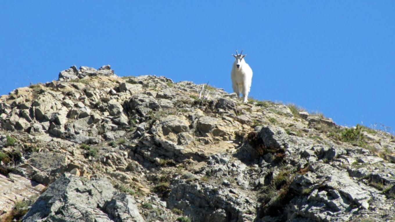 Mount Aeneas Trail resident mountain goat. – Sheena Pate