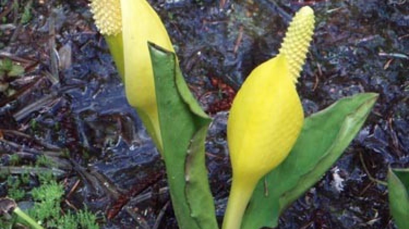 But don\'t miss the wonderful aroma of skunk cabbage growing in the wet areas! – Keith Hammer