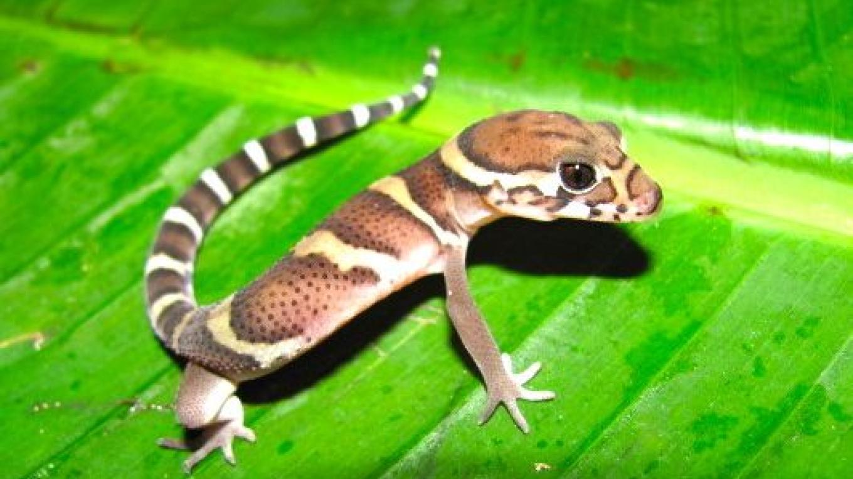 Banded Gecko (Coleonyx mitratus)/ Gecko de Bandas – Flavia Papini