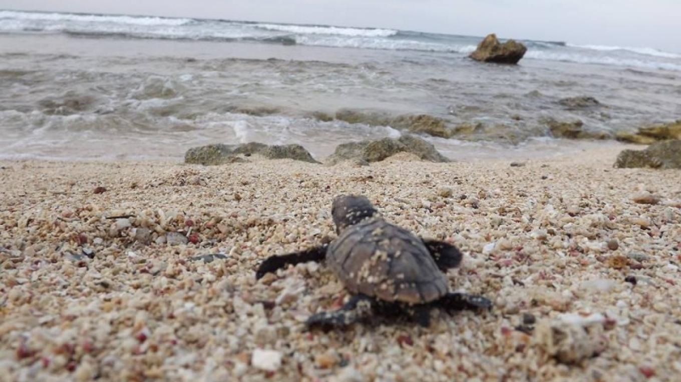 Recently hatched Hawksbill. Sea Turtle Monitoring program. – BICA volunteer