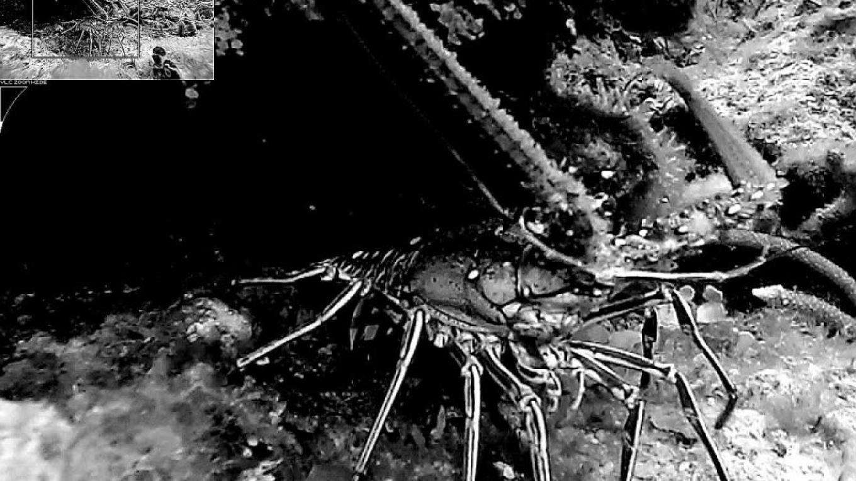 Spiny Lobster – Eric D. White
