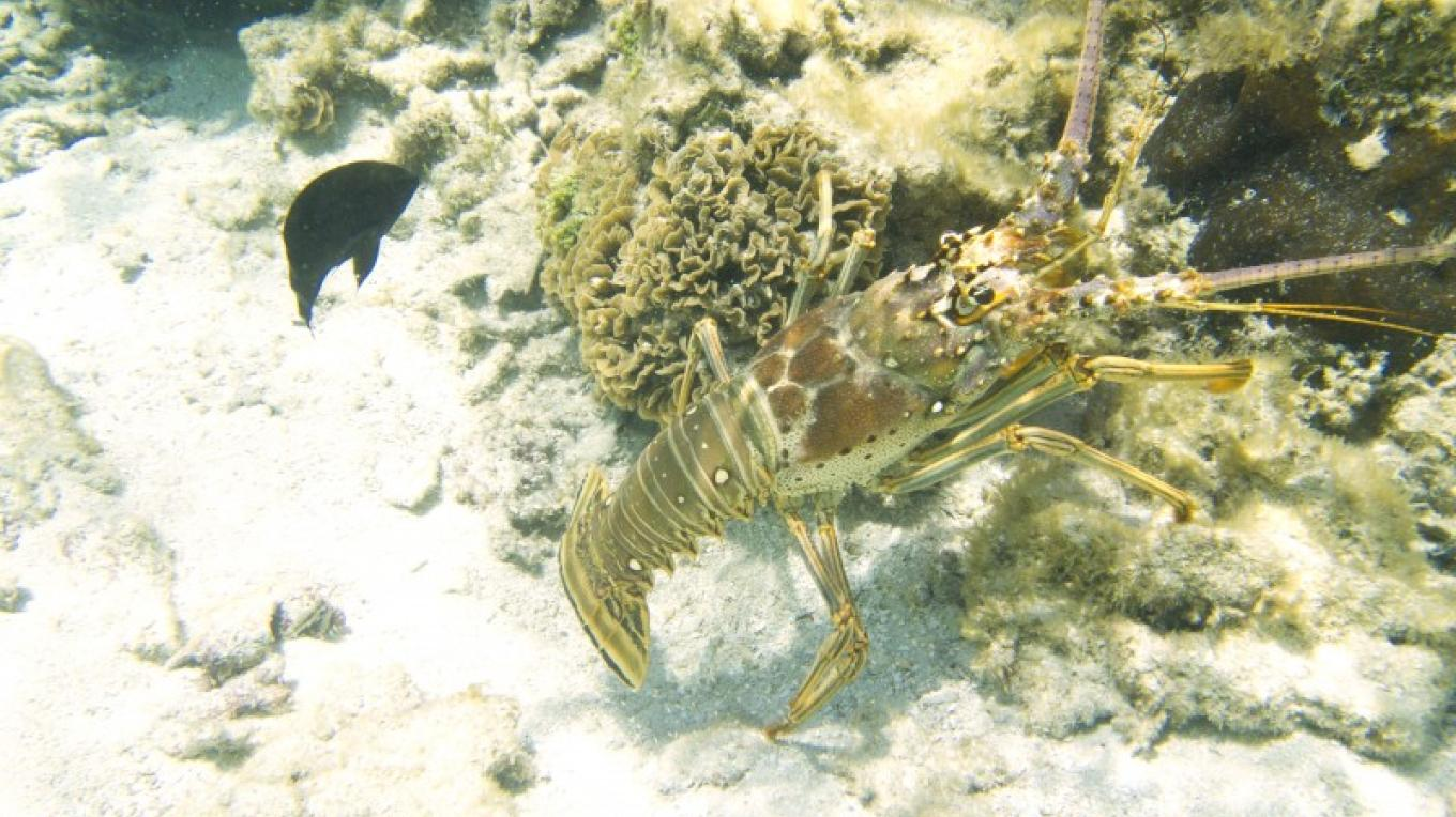 The endangered spiny Lobster is an easy prey for illegal poachers. – Manlio Martinez