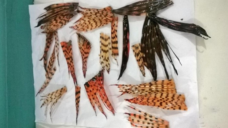 Lionfish fins ready to make jewelry / Aletas de pez león listas para preparar joyería – Utila Handmade Co-op