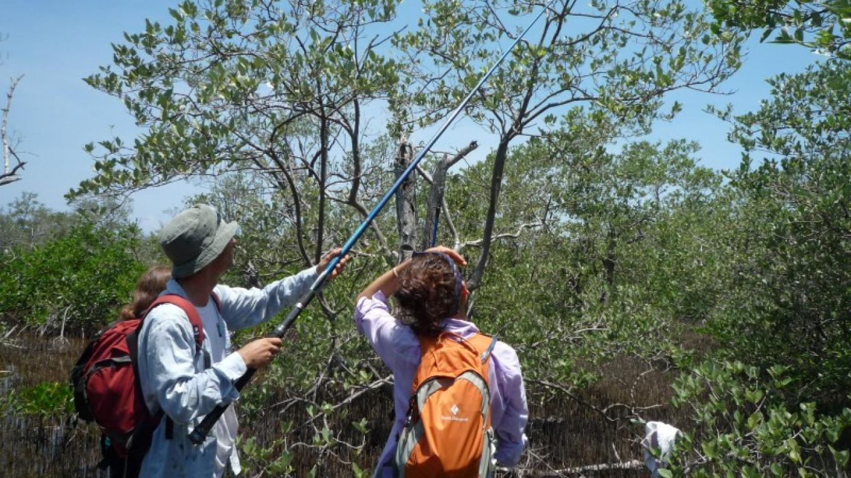 Capturing iguanas with a fishing rod for the population study/ Capturando Iguanas para un estudio poblacional. – Camilla Daoust