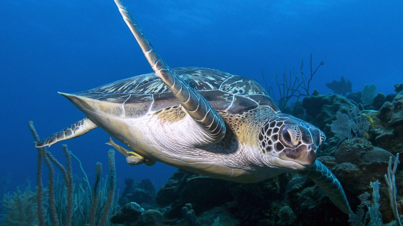 The green turtle seen here is an endangered species threatened globally due to high bycatch rates and the illegal trade and consumption of its meat, eggs, shell, and leather – Mauricio Riquelme