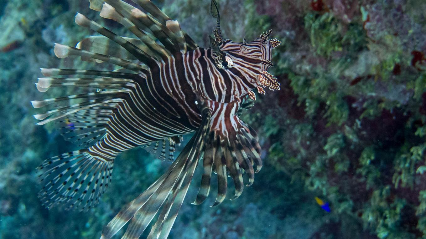 The red lionfish (Pterois Volitans) has very few predators in the area and thus is capable of undermining the balance of our marine ecosystem – Mauricio Riquelme