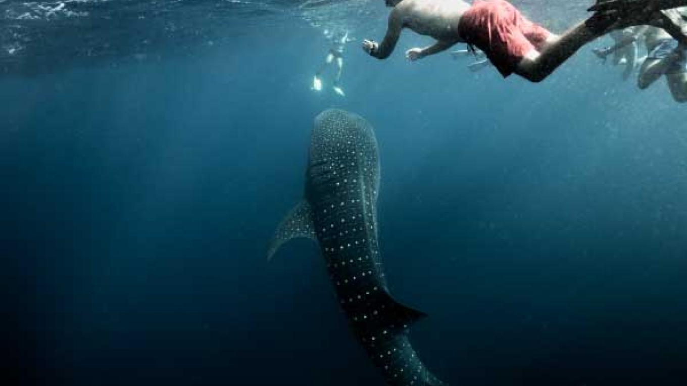 Whale Shark encounters – Ash Kirkham